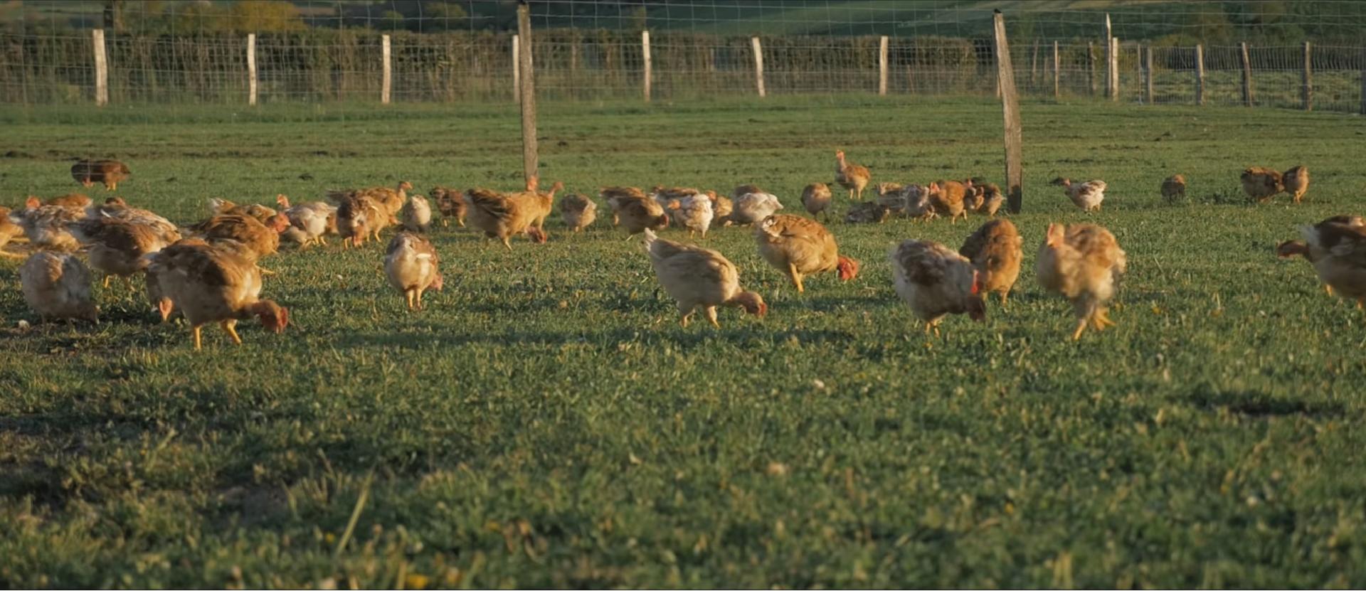 les volailles de ruols volailles fermières élevage en plein air