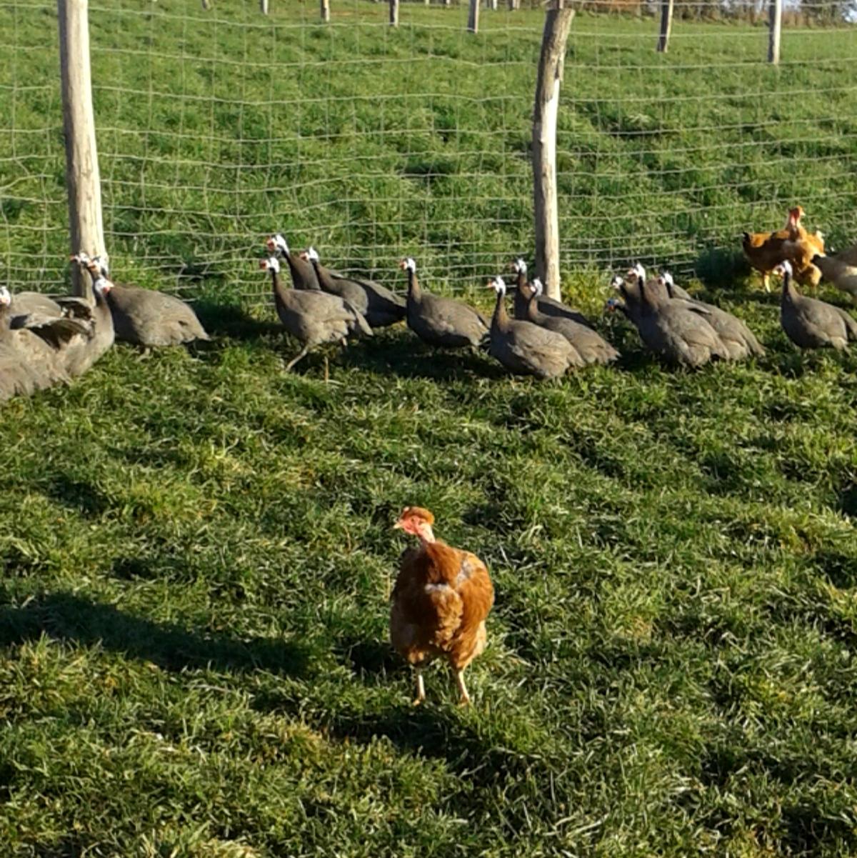 les volailles de ruols élevées en plein air en aveyron par nicolas vacquier
